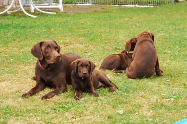 Labrador von der Murdekaul