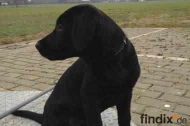 Labrador Welpe Schwarz (Mädchen)