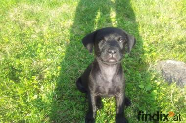 Labrador Welpen Arbeitslinie in schwarz, geb. 3.12.12!