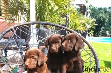 Labrador Welpen braun 8 Wochen 1.190,-- Euro