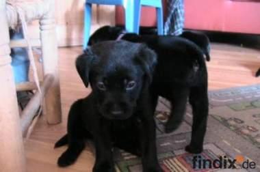 Labrador Welpen in blond,schwarz und foxred !!!!!!