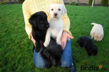 Labrador Welpen Rüde und Hündin