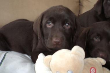 Labrador Welpen in schoko