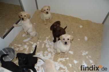 Labrador Welpen verschiedene Farben zur Abgabe ab 650 Euro
