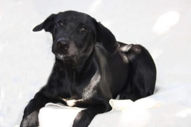 Labradormischling Weibchen sucht ein neues zu Hause