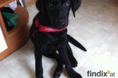 Labradorwelpe, schwarz, 3 Monate