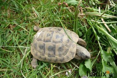 Landschildkröte Testudo hermanni / 2008 / Cites vorhanden