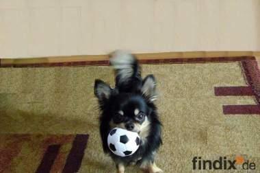 Langhaar Chihuahua, Rüde, 1Jahr alt, aus Zucht mit Ahnentafel