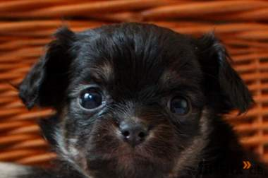 Langhaar und Kurzhaar Chihuahuas aus privater, seriöser Zucht