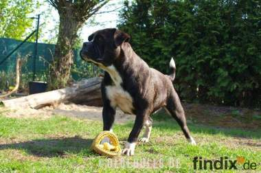 Leavitt Bulldog Welpen - David Leavitt's Olde English Bulldogge