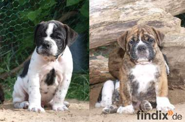 Leavitt Bulldog Welpen - David Leavitt's Olde English Bulldogge