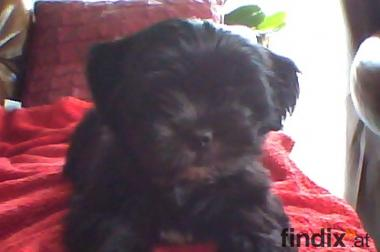 Lhasa Apso Welpe