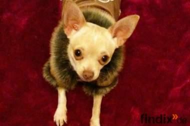 Liebebedürftiger Chihuahua Rüde sucht ein neues Zuhause