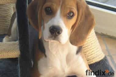 Lieber Beagle sucht neues Zuhause