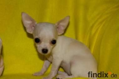 Liebes Extra Mini-Chihuahua Weibchen WEISS !