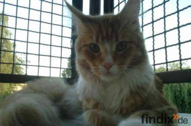 liebevoller  Maine Coon Deckkater in red cl. tabby white