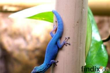 Lygodactylus williamsi, himmelblaue Zwergtaggeckos
