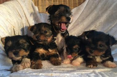 Magníficos cachorros Biewer Yorkshire Terrier