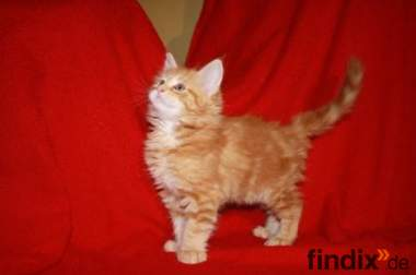 Main Coon Kitten abzugeben - Zuchtgeeignet