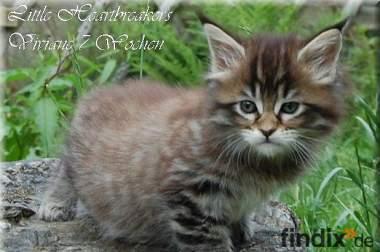 Main3e Coon Kitten im urigen Wildlook