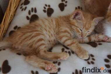 Maincoon-Türkisch Angora Mix Katzenbabys abzugeben