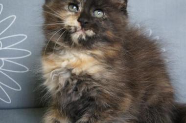 Maine Coon Kätzchen mit Schmuseabitur darf auswandern !