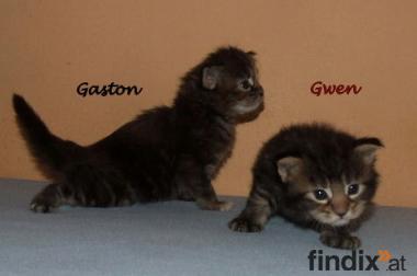 Maine Coon Kitten!