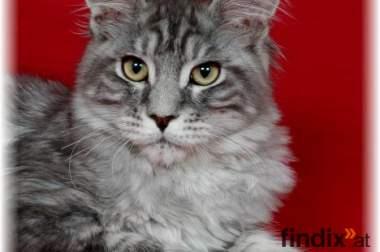 ***MAINE COON Kitten mit Ahnentafel***