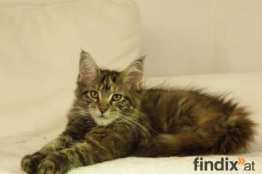 Maine Coon m.P.
