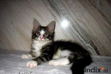 Maine Coon Prinzessin Lillifee