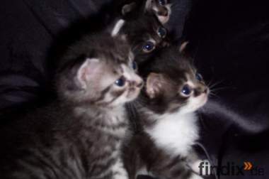 Mainecoon Mix babys