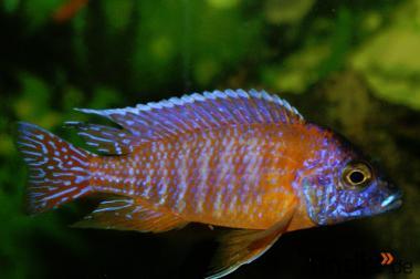Malavibarsche