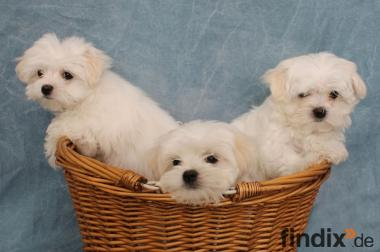 Hunde Welpen In Munchen Bayern Abzugeben Findix De