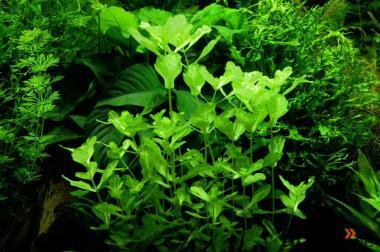 Mexikanisches Eichblatt, Aquariumpflanze (Versand)