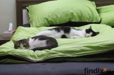 Mimi & Gargamel, 2 Katzen zu verschenken (inkl. Zubehör)