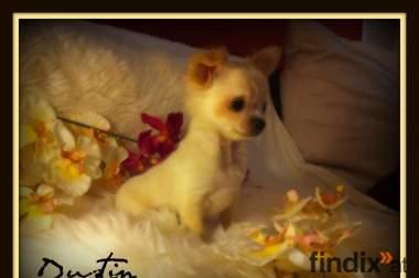 *MINI Chihuahua DUSTIN ist in liebevolle Hände abzugeben*