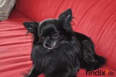 Mini Chihuahua LH Deckrüde, schwarz!