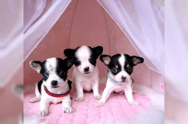 Mini Chihuahua mit Papieren aus Belgien, seriöser Hobbyzucht