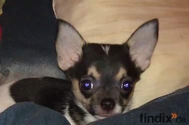 Mini Chihuahua Welpe
