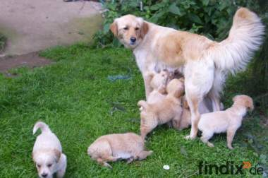 Mini-Golden-Retriever-Welpen