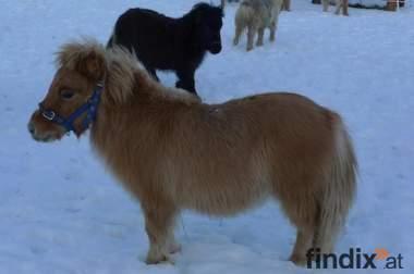 Mini Shetland Hengst Fohlen