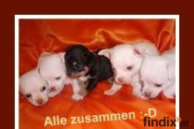 Mini Welpen- Süße Chihuahua Babys- JETZT abzugeben!