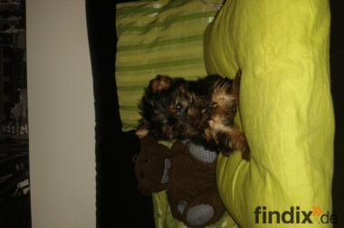 mini yorkshire terrier toy