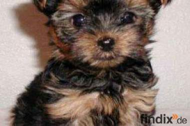 Mini Yorkshire Terrier welpen zuverkaufen