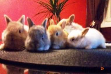 mini - zwerg Kaninchen
