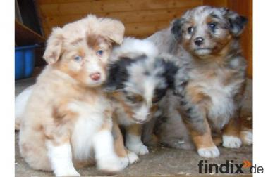 Miniatur Australian Shepherds