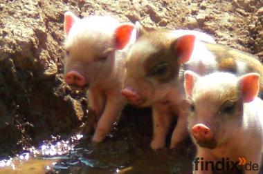 Minischweinferkelchen