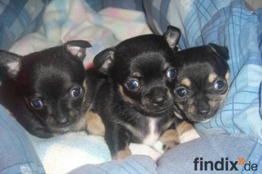 Mipsy Fipsy und Tipsy Mini Chihuahua Welpen