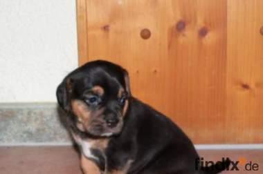Mutter: Französische Bulldogge Vater: Beagle
