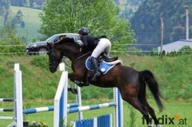Nachwuchs Vielseitigkeitspferd zu verkaufen